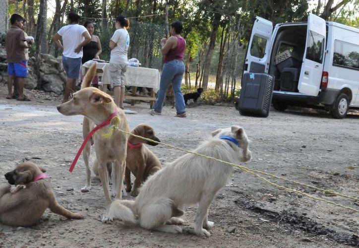 Continúa programa de rescate de perros sin hogar. (Adrián Barreto/SIPSE)