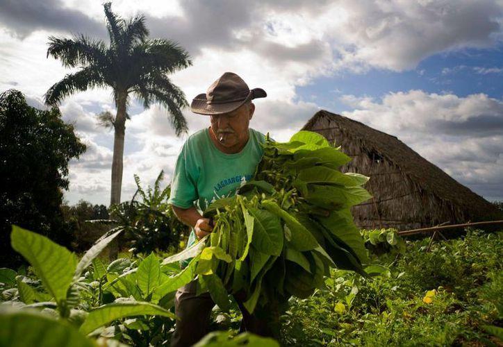 En imagen del 27 de febrero de 2016, Raúl Valdés Villasusa, de 76 años, fuma un cigarro mientras recolecta hojas de tabaco en su plantación de Viñales, en la provincia cubana de Pinar del Río. (Foto AP/Ramón Espinosa)