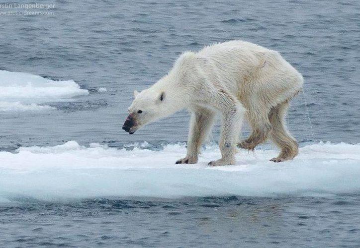 La foto del oso polar tomada por Kerstin Langenberger está inundando las redes sociales, ya que los usuarios se han impacto por el aspecto desnutrido del animal. (facebook.com/kerstin.langenberger.photography)