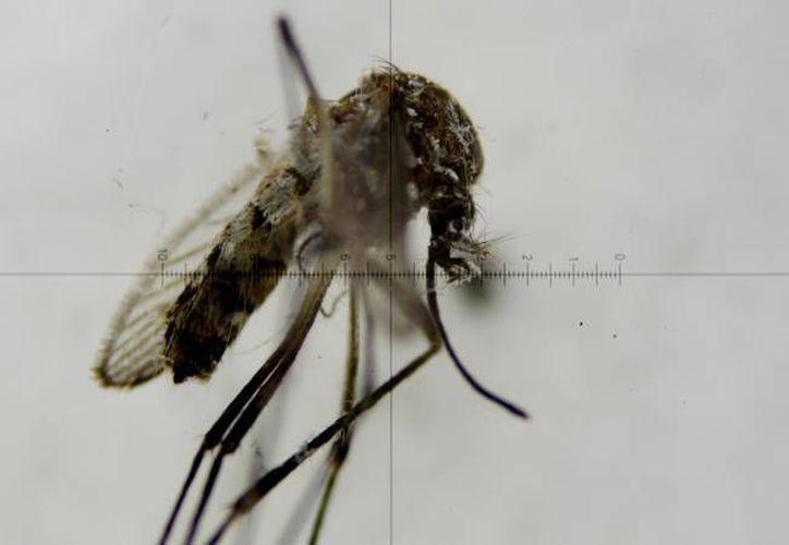 En el caso del zika, algunos lo pueden contraer pero sin presentar síntomas y  otras personas pueden presentar todos los signos de forma severa. En la foto, un mosco aedes aegypti, transmisor del zika. (EFE)
