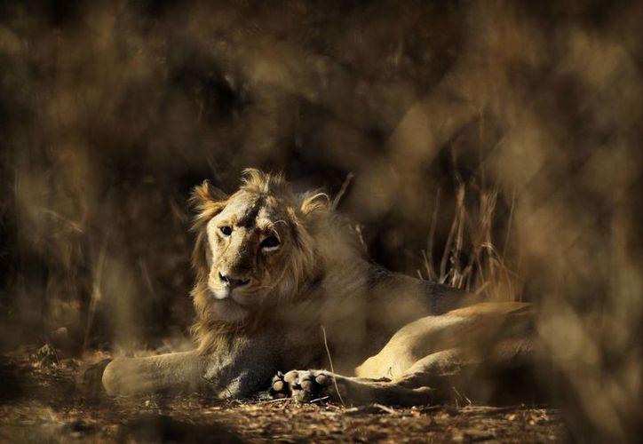 Un león descansa en el Bosque Nacional Gir en el estado occidental indio de Guyarat, India. (Agencias)