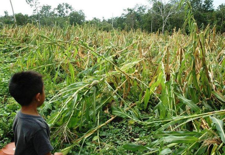 Las lluvias han regado más de 16 mil hectáreas de maíz en Quintana Roo. (Gerardo Amaro/SIPSE)