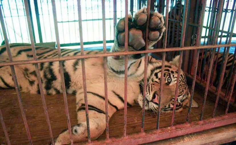 Los circos de Yucatán no cumplieron con el decreto que los obliga a entregar un catálogo de los animales que tienen en su poder. La imagen es de contexto. (SIPSE/Archivo)