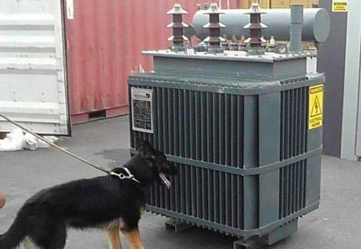 Un perro entrenado de la SSP Yucatán detectó en Mérida la marihuana oculta en un transformador que salió de Zapopan con destino a Chetumal. (SIPSE)