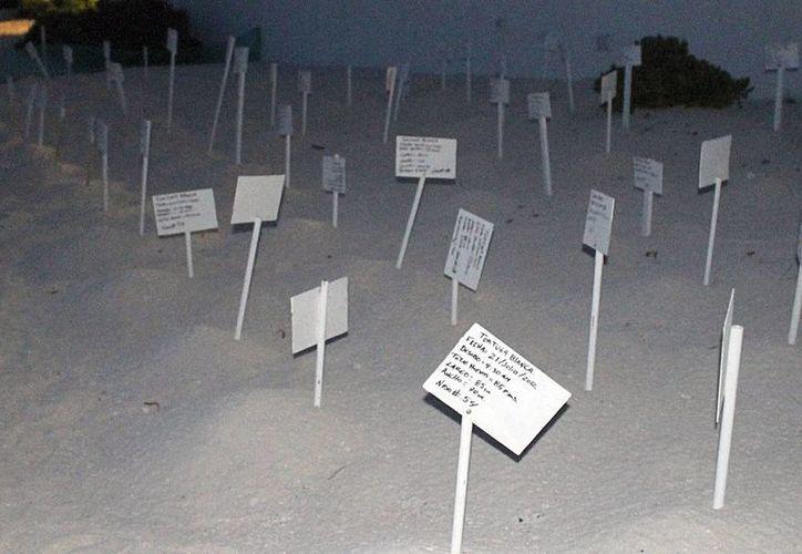 Por lo menos 31 tortugas blancas con la marca de autoinjerto regresaron a anidar al Estado. (Sergio Orozco/SIPSE)