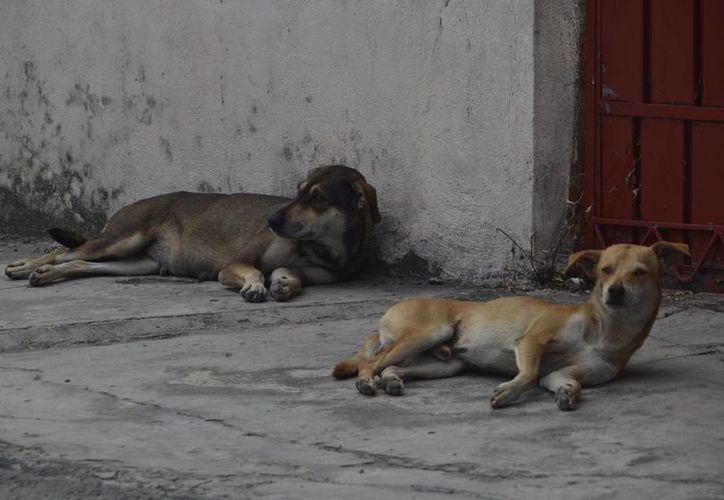 En la capital existen 30 mil perros callejeros, confirmó el director general de Desarrollo Social, José Caamal Osorio. (Harold Alcocer/SIPSE)