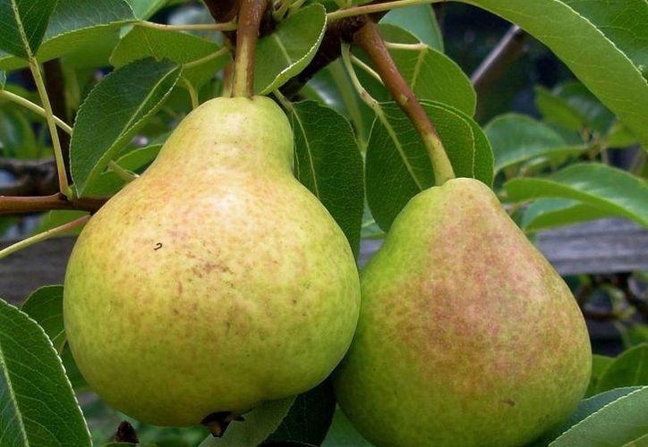 El zumo de las peras previene los efectos de beber alcohol en exceso, según científicos australianos. (urbanseedling.com)
