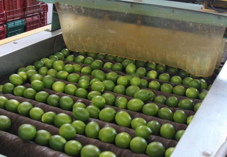 El limón es de los productos cuyo precio registra mayor aumento, con una variación quincenal de 40.63 por ciento. (Notimex/archivo)