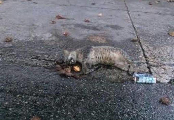 El gato muerto permaneció varios días cerca de la clínica del IMSS del Progreso. (Óscar Pérez/SIPSE)