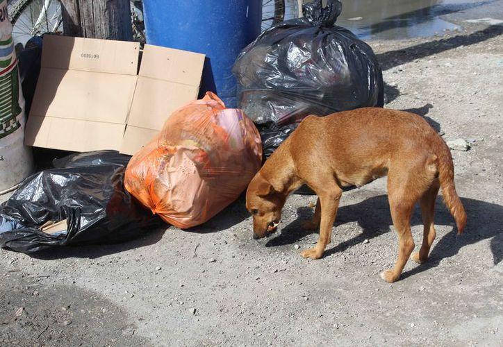 Buscan un espacio para atender a los perros callejeros. (Sara Cauich/SIPSE)