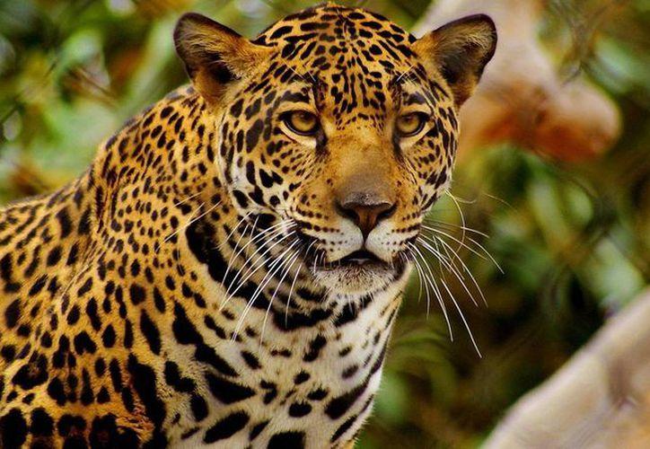 Existe un programa piloto para la conservación del jaguar, el cual es monitoreado por especialistas de la UNAM. (Contexto/Internet)