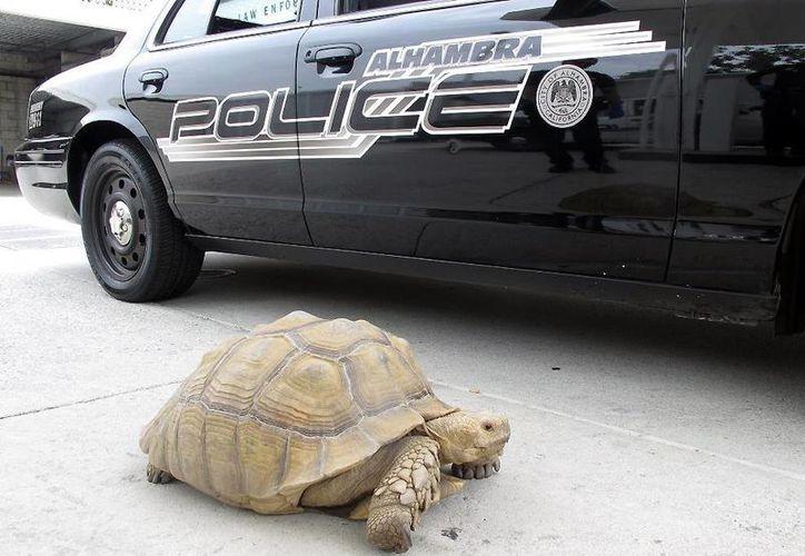Esta tortuga gigante de 68 kilogramos fue encontrada mientras se desplazaba por calles de Alhambra, California. (AP)