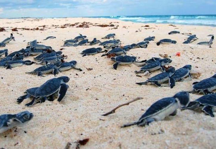 Las especies con mayor número de arribos son  la tortuga blanca y la caguama en Xcacel-Xcacelito. (Redacción/SIPSE)