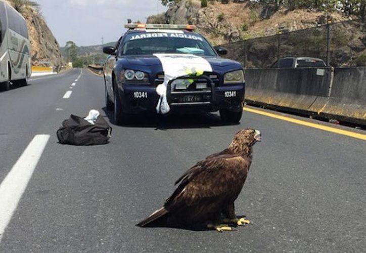 Los elementos encontraron al ave sobre la carretera Guadalajara-Tepic. (tiempo.com)
