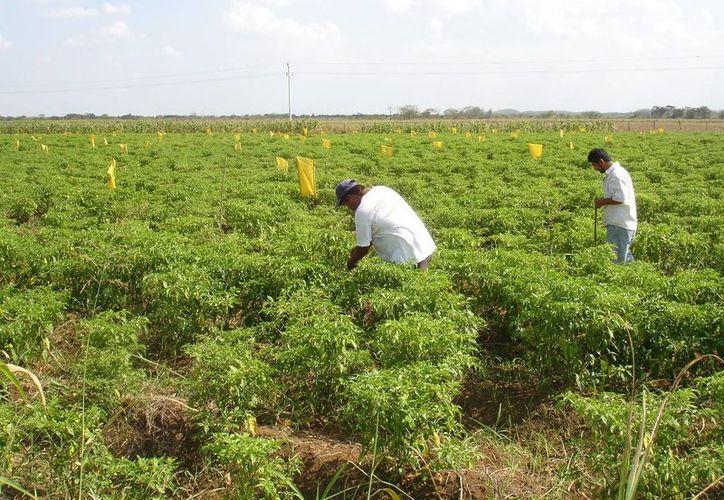 Pocas de las plantaciones que aún laboran.(Juan Rodríguez/SIPSE)