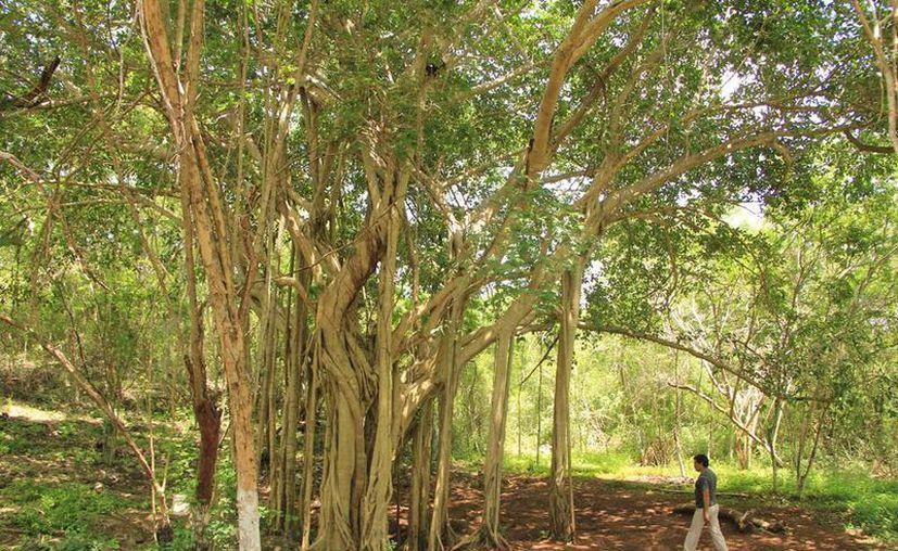 Un enorme árbol, que parece surgir del centro de la tierra, es el punto de referencia para hallar la caverna Chan Utzil. (Milenio Novedades)