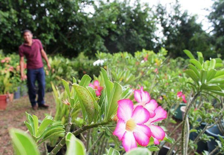 En los últimos años se han incrementado los viveros productores de plantas de ornato, debido a que en un principio había gran demanda. (Edgardo Rodríguez/SIPSE)