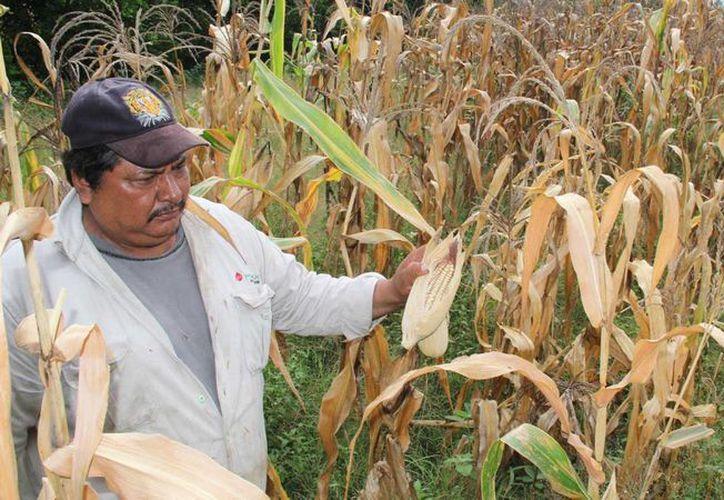 Hasta el momento se han perdido 60 hectáreas de maizales. (SIPSE)