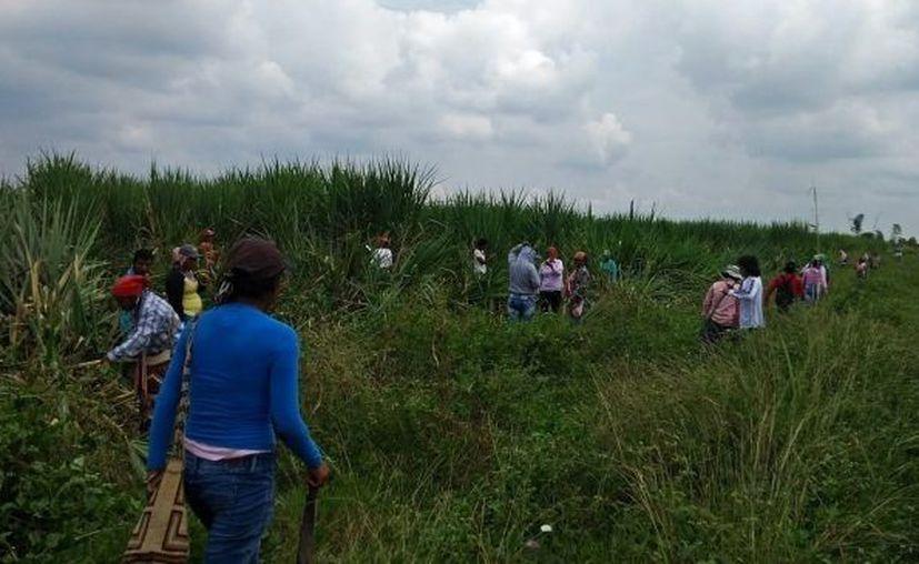 Miles de cultivos están en riesgo, principalmente los de caña de azúcar, por su cercanía con la frontera con Centroamérica. (Carlos Castillo/SIPSE)