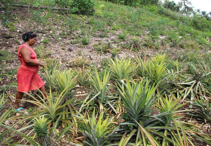 Los mismos trabajadores e incluso la ciudadanía en muchas ocasiones son quienes sustraen los cultivos. (Carlos Castillo/SIPSE)