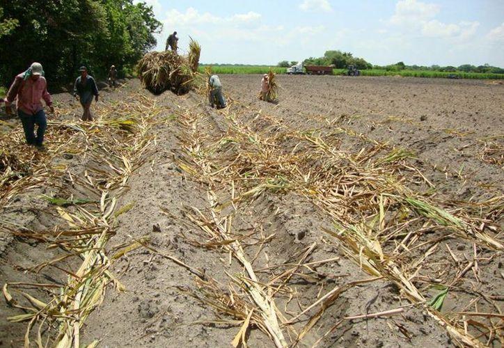 Se requiere de la transferencia de tecnología y que la producción de ganadería y caña de azúcar sean más productivas en todos los aspectos. (Carlos Castillo/SIPSE)