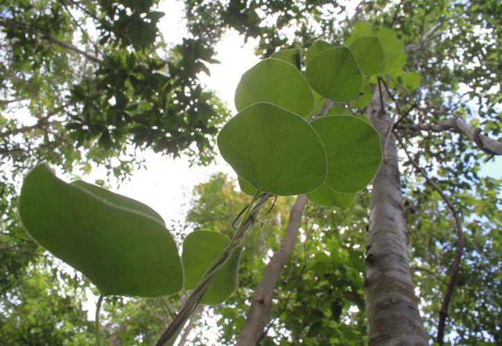 El ecosistema de la reserva se caracteriza por árboles de hasta 30 metros de altura. (Sergio Orozco/SIPSE)