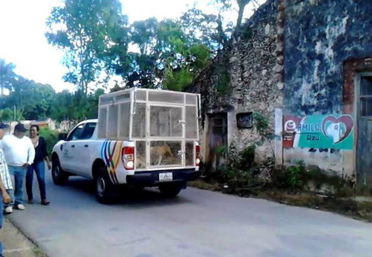 Se implementó un cerco sanitario en la población. En la imagen, una camioneta mientras recogía a todos los animales callejeros de la zona para su exterminio. (Milenio Novedades)