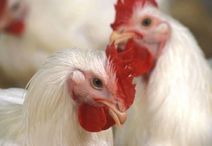 El brote de gripe aviar en Holanda es mortal para las aves, pero también se podrían contagiar personas. mysciencework.com)