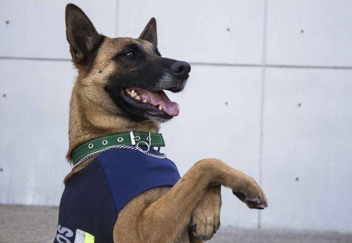 Hércules, un perro policía de Oaxaca, tiene dos años y ocho meses. Sus tumores no le impiden el cumplimiento de su labor. (Notimex)