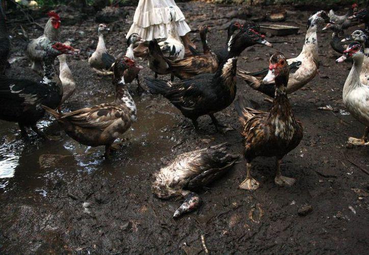 Aves de patio son atacadas por un animal que los productores no han logrado identificar. (Octavio Martínez/SIPSE)