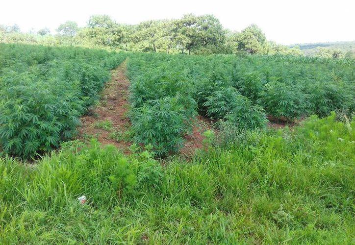 Por cada metro cuadrado, se localizaron cuatro plantas de marihuana con una altura promedio de un metro 20 centímetros. (@FiscaliaJal)