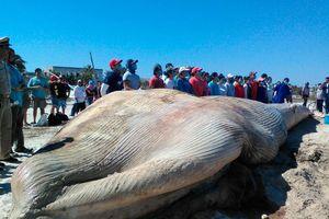 Disecan una ballena en la playa