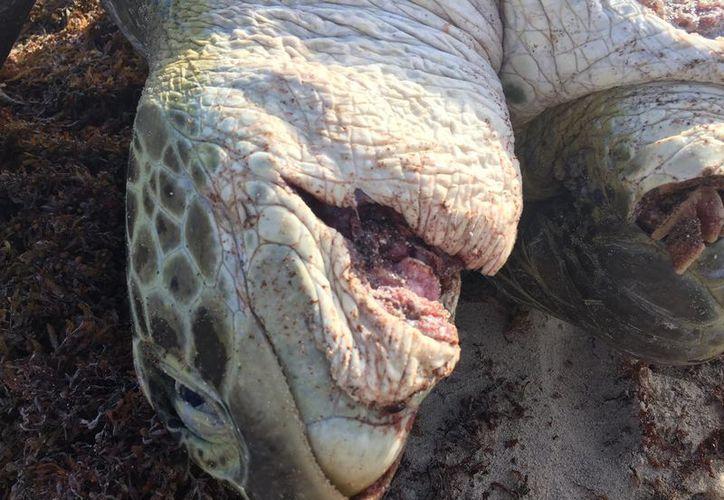 Las personas pueden denunciar a los saqueadores o los comerciantes de los huevos de tortuga a través del número de emergencias 911. (Facebook: Proyecto Aak Mahahual