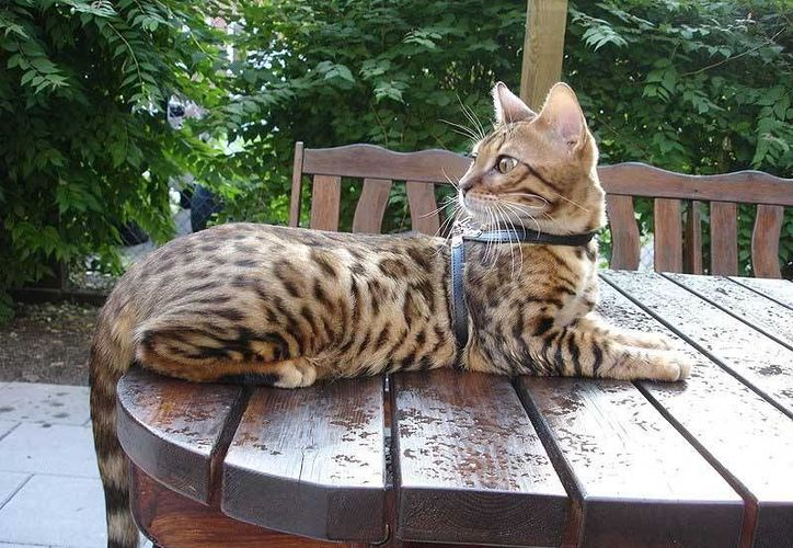 Un ejemplar de gato bengalí como el que escapó de la casa de una extranjera en Chelem. Es un felino doméstico e inofensivo. (gatopedia.wikia.com)