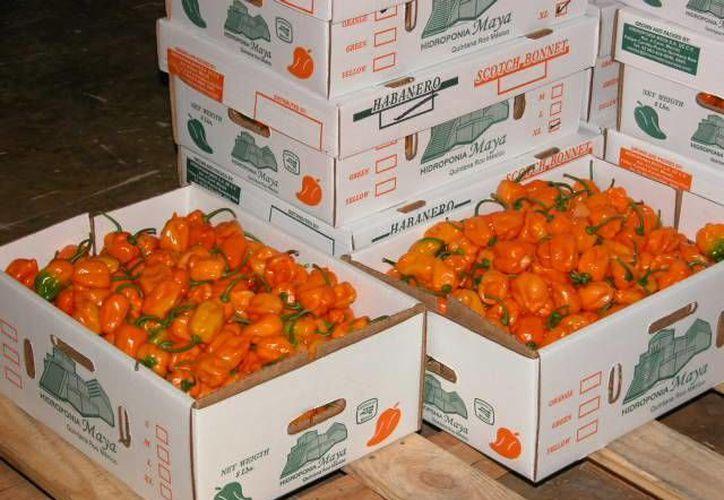 El precio del chile habanero se ha triplicado en la última semana. (Manuel Salazar/SIPSE)