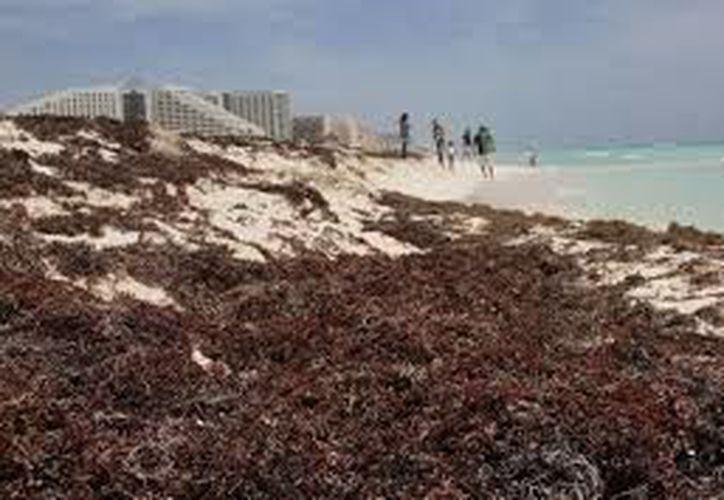 Incrementa el arribo de sargazo en playas de la zona norte de Quintana Roo. (Redacción)