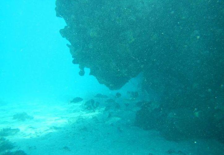 Los corales tardan hasta millones de años en formarse, de ahí que cualquier daño, por más pequeño que sea, es de gran trascendencia para el medio ambiente. (Profepa)