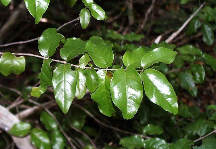 La Krugiodendron ferreum es un buen depurativo de la sangre y auxiliar para los cálculos en el riñón. (uvi.edu)