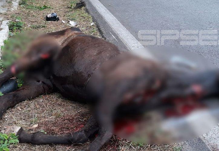 El cuerpo del animal quedó tendido en la cinta asfáltica. (SIPSE)