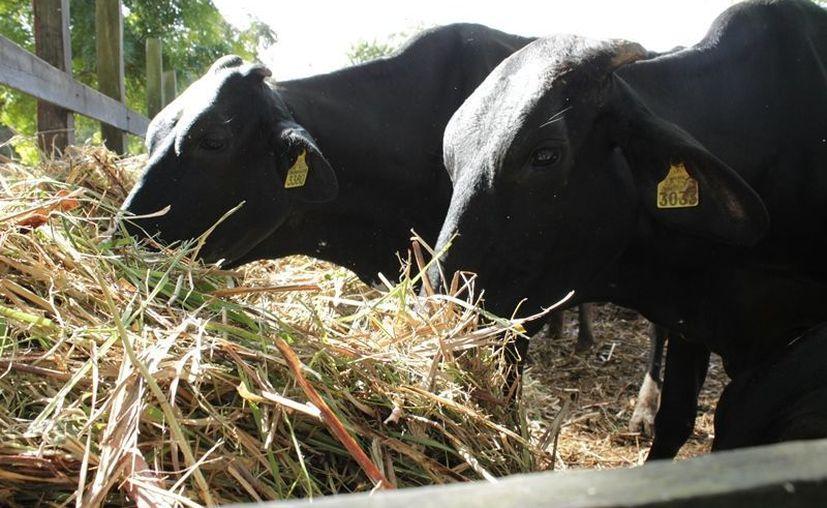 Entre los más de 500 productores de la región existen alrededor de 10 mil cabezas de ganado que padecen la falta de alimentos.  (Edgardo Rodríguez/SIPSE)