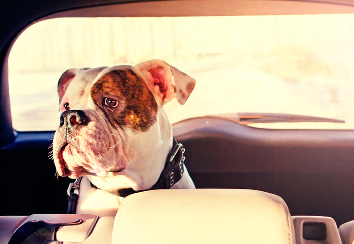 Mucha gente deja a sus perros dentro del auto, sin saber lo mucho que sufren por el calor. (Internet)