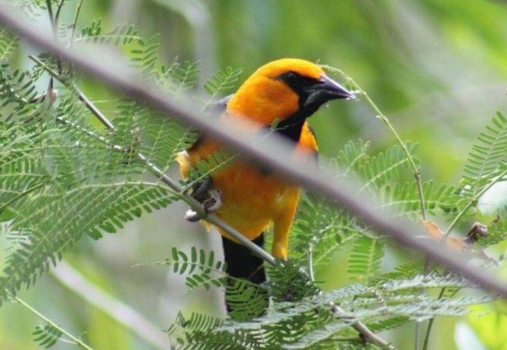 La actividad premiara a los tres primeros lugares que tengan mayor número de aves registradas. (Tony Blanco/SIPSE)