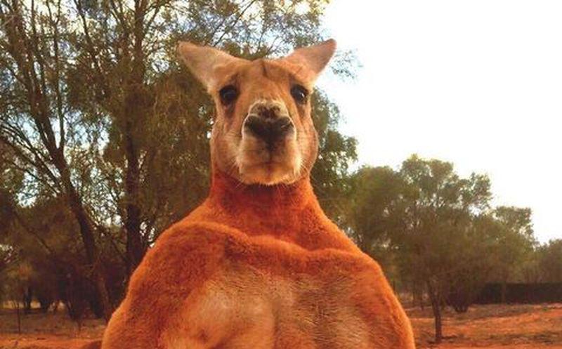 Adiós Roger: Murió el canguro más musculoso del mundo