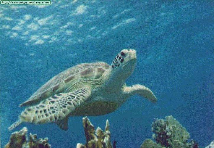 Crean programas para proteger a las tortugas marinas. (Sergio Orozco/SIPSE)