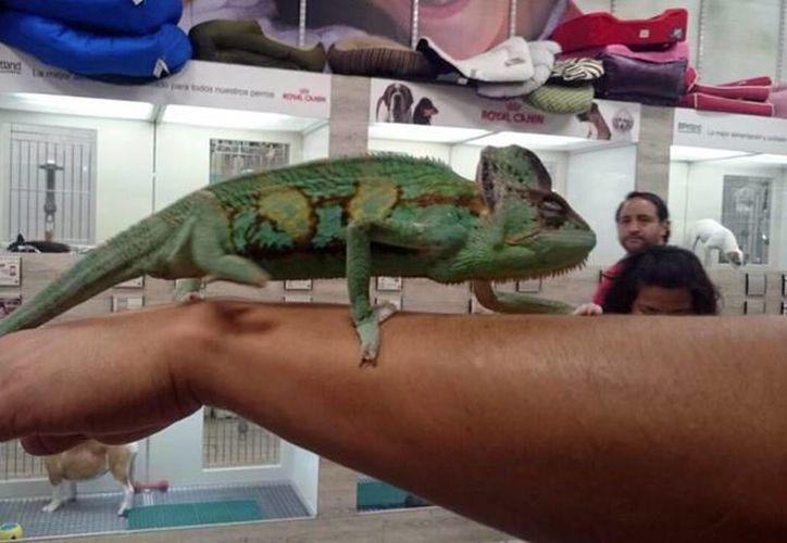Imagen de uno de los camaleones decomisados durante el operativo. (Milenio Novedades)
