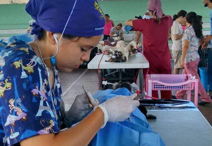 Evolución Animal arranca una mini campaña de esterilización en la Hacienda Teya para evitar la sobrepoblación animal. Imagen de una veterinaria mientras somete a cirugía a un perro. (Milenio Novedades)