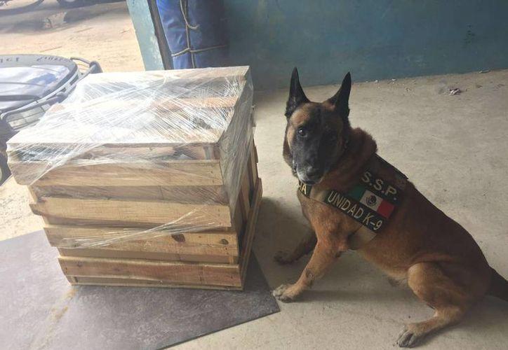 Perro policía encontró droga en un paquete enviado, a través de una empresa de mensajería, a Mérida desde la Ciudad de México. (SIPSE)