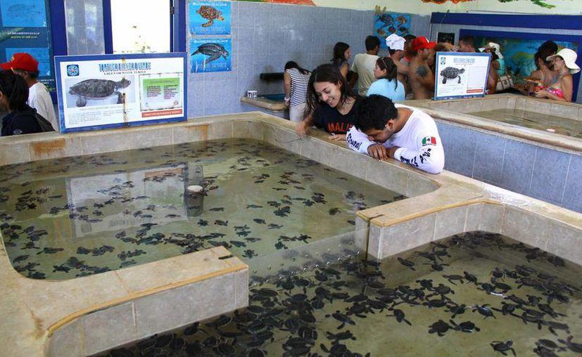 Al nacer, mantienen a las tortugas en una pileta con agua, en donde los turistas que visitan Isla Mujeres, tienen oportunidad de apreciar su belleza. (Gonzalo Zapata/SIPSE)