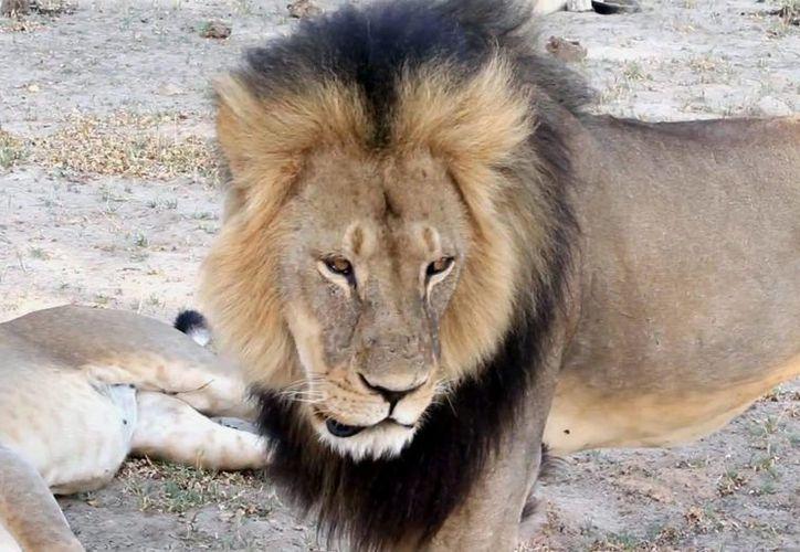 El hermano del león Cecil porta un collar que permite su geolocalización satelital. (AP)