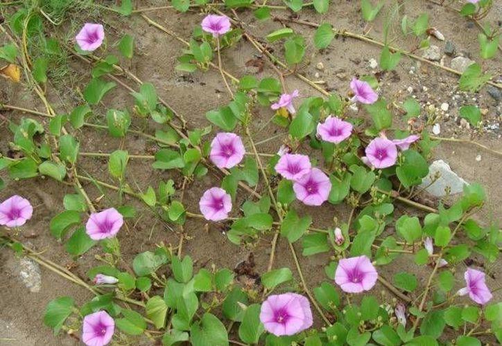 La riñonina es la planta que crece en la duna costera, a unos pasos de entrar al mar. (infojardin.com)